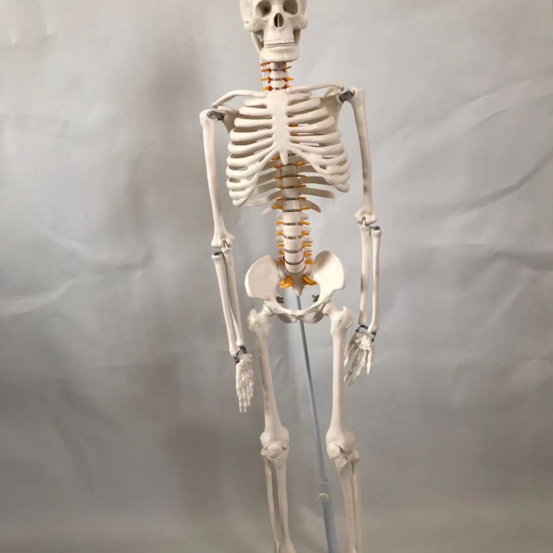 青华33204仿真人体骨骼模型 85CM 42CM 85CM悬挂式可拆卸生物教学骷髅骨